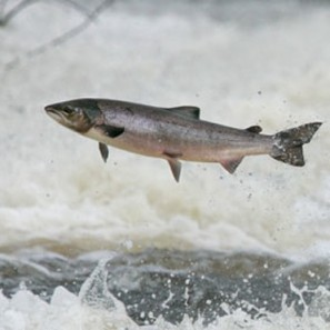 Wild salmon at Philiphaug